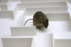 Ratte Stockfotografie