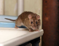 Ratte Stockfotos