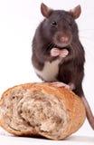 Ratte Lizenzfreies Stockfoto