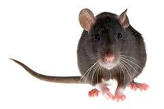 Ratte Lizenzfreies Stockbild
