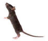Ratte Stockfoto