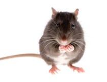 Ratte Stockbild