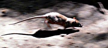 Ratte auf dem Lauf Stockfotos