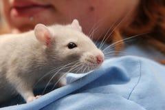 Ratte auf der Schulter Stockfotos