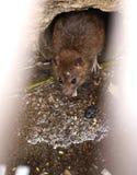 Ratte auf einem Abwasserkanal könnte die Biene, die vom Abflussgitter gesehen wurde Stockfoto