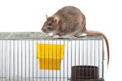 Ratte auf einem Korb Lizenzfreies Stockfoto