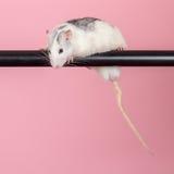 Ratte auf einem rosa Hintergrund Stockbild