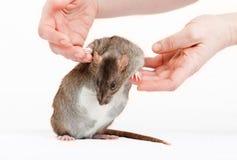 Ratte auf einem weißen Hintergrund Lizenzfreies Stockbild