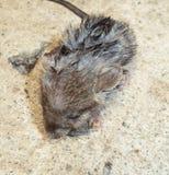 Ratte auf Frost Stockbild