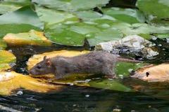 Ratte auf Lilienblättern im Wasser Lizenzfreie Stockfotos