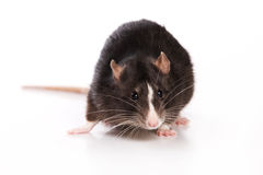 Ratte auf weißem Hintergrund Stockfotos