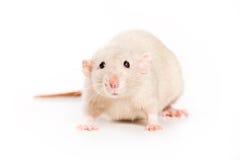 Ratte auf weißem Hintergrund Stockfoto