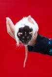 Ratte in der Hand Stockbild