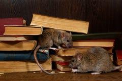 Ratte der Nahaufnahme zwei sitzt nahe alten Büchern auf dem Bodenbelag in der Bibliothek stockfoto