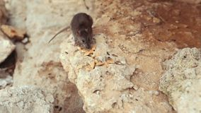 Ratte, die Plätzchen auf den Felsen isst stock video