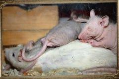 Ratte in einem Glas Stockfotografie