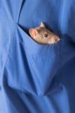 Ratte in einer Tasche Lizenzfreies Stockfoto