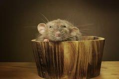 Ratte in einer Tonne Stockfotografie