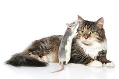 Ratte flüsterte zur Katze im Ohr, das stillsteht lizenzfreie stockfotos