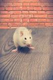 Ratte isst Stockbild