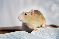 Ratte mit Buch Lizenzfreies Stockbild