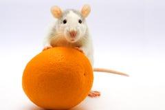 Ratte mit einer Orange Lizenzfreie Stockfotos