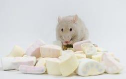 Ratte mit Marmelade Stockfotografie