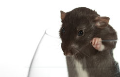 Ratte schaut heraus das Glas. Stockbild
