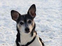 Ratte-Terrier Stockbild