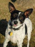 Ratte-Terrier Stockfotos