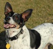 Ratte-Terrier Lizenzfreie Stockbilder
