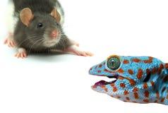 Ratte und Eidechse Stockbild