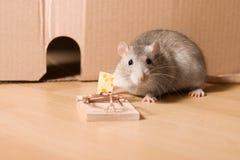 Ratte und Käse Stockbilder