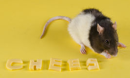Ratte und Käse Stockfotos