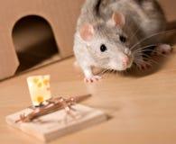 Ratte und Käse lizenzfreie stockfotos