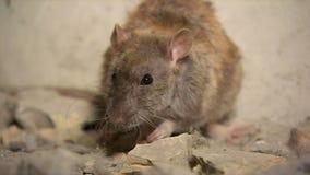 Ratte, welche die Kamera betrachtet stock footage