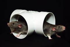 Rattebrüder Stockbild