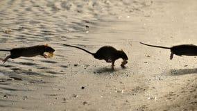 Ratten Lizenzfreies Stockfoto