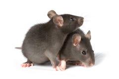 Ratten Stockfotos