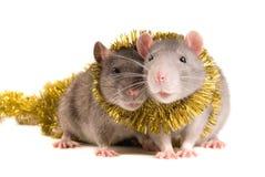 Ratten Royalty-vrije Stock Foto