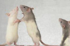 Ratten Royalty-vrije Stock Foto's