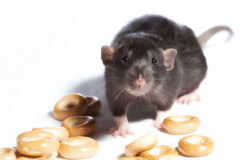 Ratten der Bagel. Lizenzfreie Stockfotos