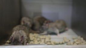 Ratten in een kooi 001