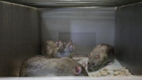 Ratten in een kooi
