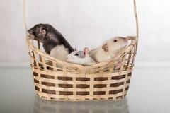 Ratten in een mand Royalty-vrije Stock Foto's