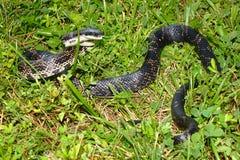 Ratten-Schlangen-Illinois-wild lebende Tiere Stockfotos