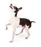 Ratten-Terrier-Hund, der oben nach einer Festlichkeit sucht Stockbild