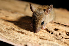 Rattenblick auf Stockfoto