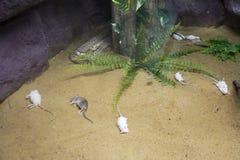 Rattentote für Schlange oder Pythonschlange essen im Käfig am allgemeinen Park in Bangkok, Thailand lizenzfreies stockfoto