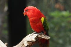 Rattern Lory, Adelaide Zoo, Süd-Australien Stockfotografie